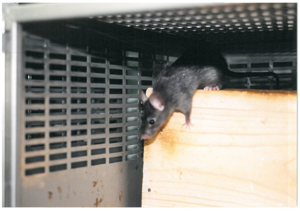 Zwarte rat (Rattus rattus)
