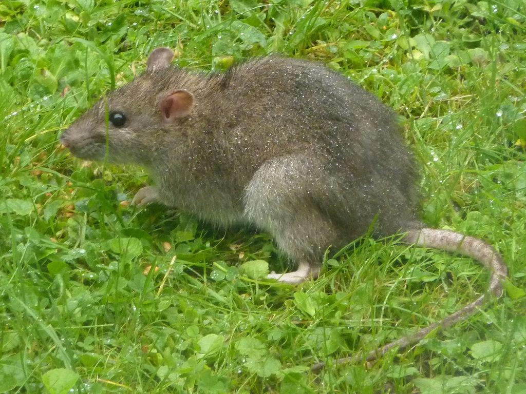 Bruine rat (Rattus norvegicus Berkenhout)