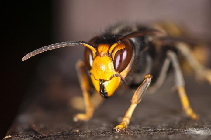 De Aziatische hoornaar