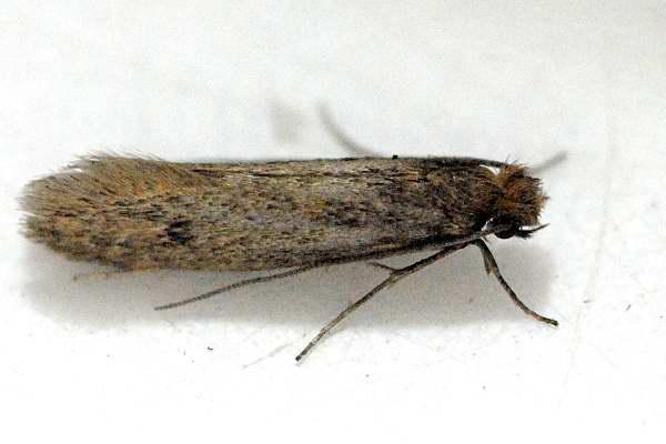 Pelsmot (Tinea pellionella L.)