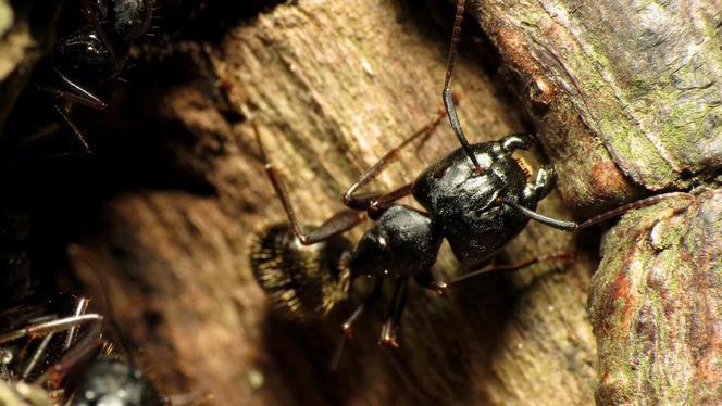 Bomen profiteren van poep en urine van mieren