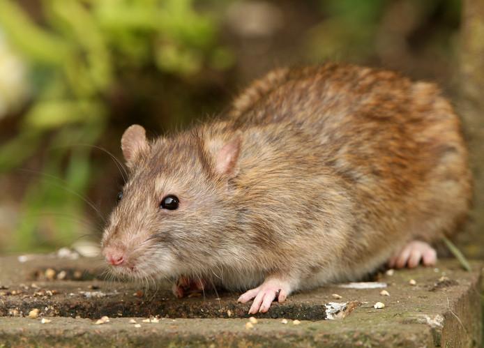 Ratten in Nederland