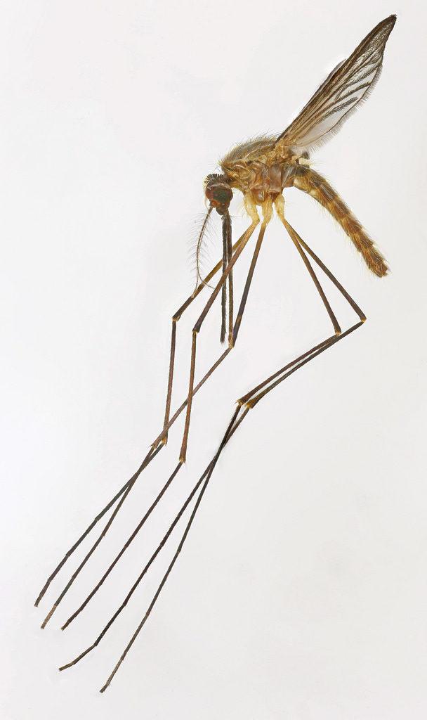 Loodgrijze malariamug (Anopheles plumbeus)