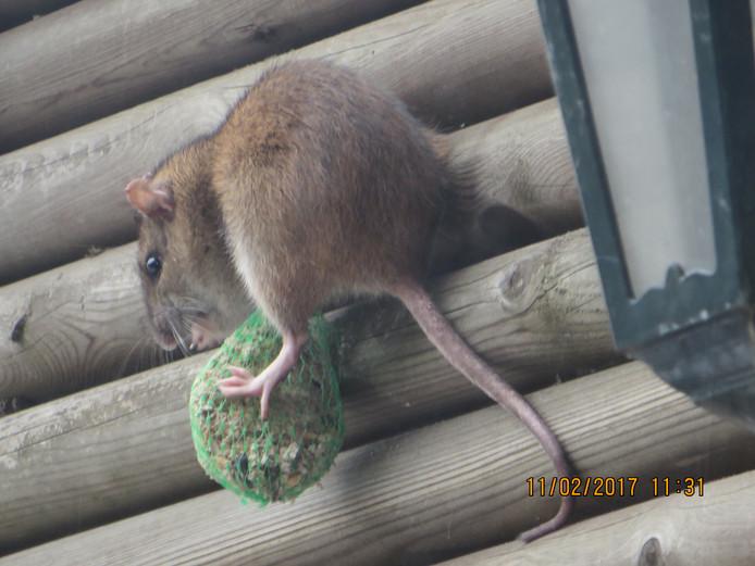 Rattenplaag in Waspik; gemeente geeft tips om overlast te voorkomen