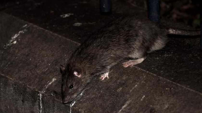 Loopt het aantal ratten in Nederland uit de hand?