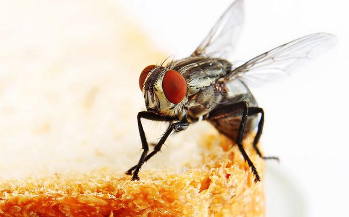 Vliegen zijn bacterie reservoirs