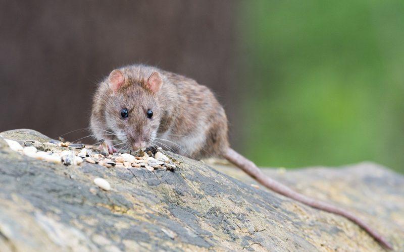 Deventer mysterie: Hoe erg is de rattenplaag in Deventer?