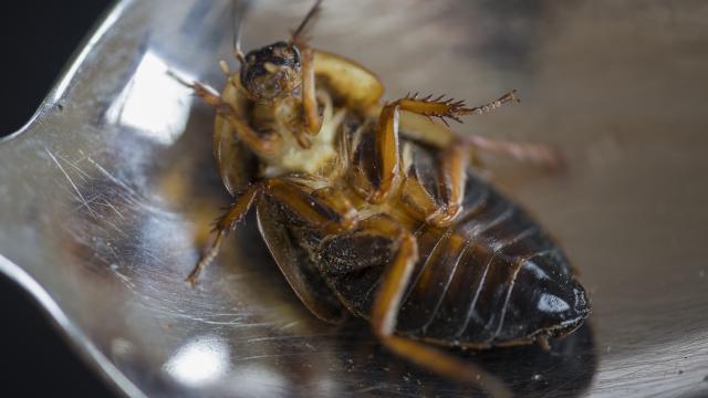 Kakkerlak: NVWA sluit restaurant in Amsterdam na kakkerlak in soep
