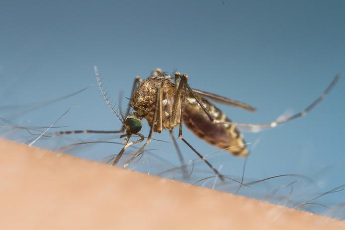 Nieuwe golf ellendige huissteekmuggen op komst