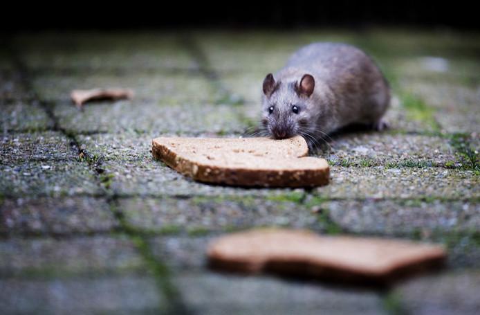 Ratten blijven Kanaleneiland teisteren