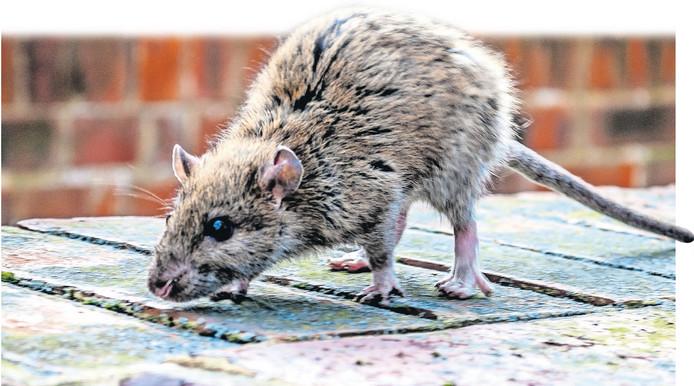 Rattenplaag in Schelfhorst Almelo: 65 in half jaar tijd