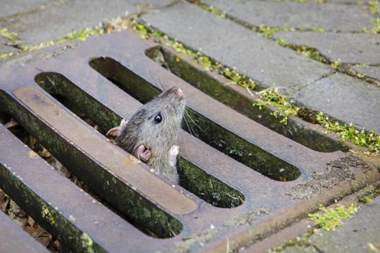 resistentie ratten